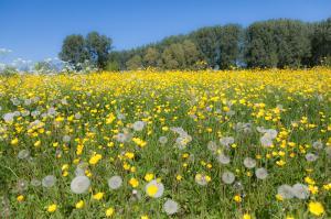 Gele bloemen op dijk bij Jisp