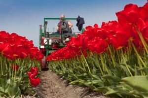 Tulpen koppen bij Egmond aan den Hoef